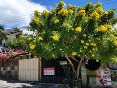 Flowering tree near Hotel Juayua