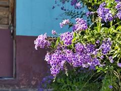Purple flowers; Ataco