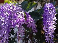 Purple flowers add even more color to Suchitoto