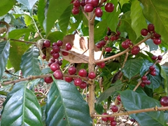 Coffee fruit; Ataco