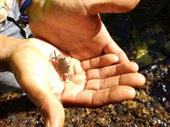 Our tour guide shows us a fresh water crab; Seven Waterfalls Hike
