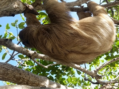 Sloth chilling in a tree