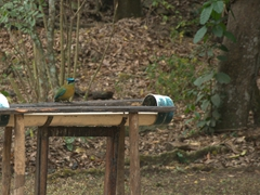 Lesson's motmot at a bird feeder; Copan Ruins