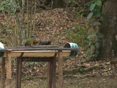 Lesson's motmot at a bird feeder; Copan Ruins