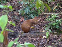 Agouti, a rodent commonly found in Central America that looks like a large guinea pig