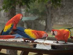 Scarlet macaws at a bird feeder; Copan Ruins