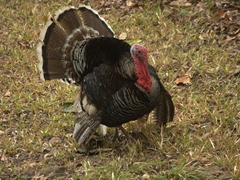 Turkey strutting its stuff; Copan