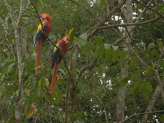 Scarlet macaws were everywhere at the Copan Ruins