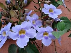 Purple flowers; Copán