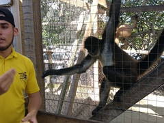 Spider monkey reaching for snacks; Daniel Johnson's monkey and sloth hang out