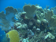 Amazing coral just a few meters off shore; Flowers Bay