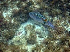 Caribbean reef squid