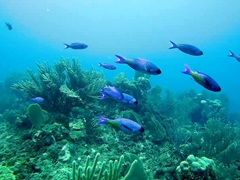 A school of blue fish zip by; Flowers Bay
