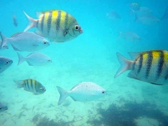 Sergeant major fish and Bermuda chubs greet snorkelers at West Bay