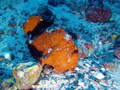 Two Commerson's frogfish (with open mouths)
