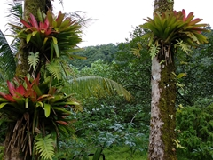 Bromeliads growing on trees; Cocos Island
