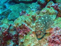 Starry grouper