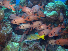 A blue and gold snapper stands out in a school of bigscale soldierfish