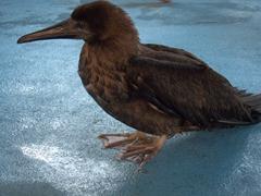 Juvenile brown booby