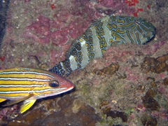 Blue and gold snapper and a hieroglyphic hawkfish