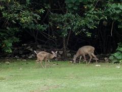Deer grazing on Cocos Island