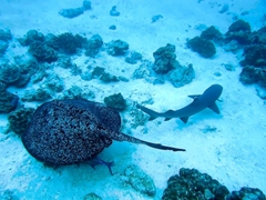 Marbled ray and a whitetip shark