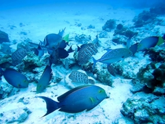 Surgeonfish, leather bass fish, and bluefin trevally searching for food