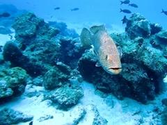 Sailfin grouper