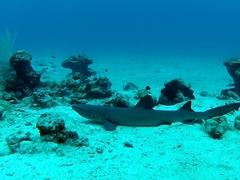 Resting whitetip reef shark
