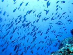 Pacific creole fish