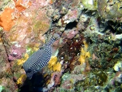 Spotted box fish