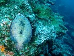 Pacific leopard flounder