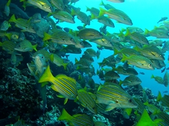 School of blue and gold snapper; Submerged Rock