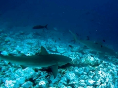 Galapagos sharks at a cleaning station