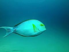 Yellowfin surgeonfish