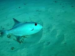 Rough triggerfish