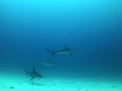 A trio of hammerhead sharks