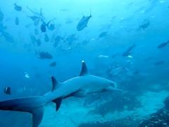 White tip shark swimming towards bigeye trevally