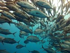 Swimming through a school of bigeye trevally