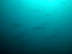 Swarm of hammerhead sharks - too bad the water is so murky because there were dozens of sharks!