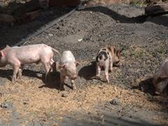 Piglets foraging for food; Finca El Porvenir