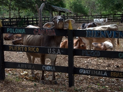 Cows from Finca El Porvenir checking us out