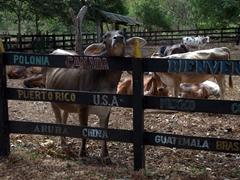 Cows from Finca El Porvenir checking us out