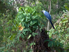 We saw dozens of white throated magpie jays flying around Ometepe Island