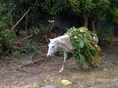 A horse carrying banana leaves