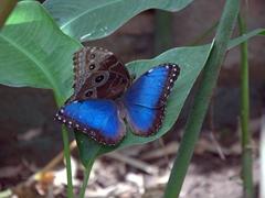 Blue morpho butterflies; Charco Verde