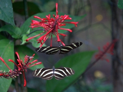 Butterflies galore at the butterfly reserve; Charco Verde