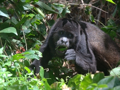 We were so lucky to see this howler monkey leisurely eating his breakfast just a few feet away from us; Charco Verde lagoon