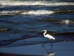 Great white egret; Playa Santo Domingo