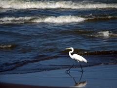 Great white egret; Playa Santo Domingo